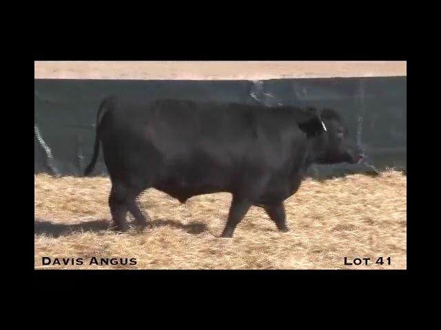 Davis Angus Lot 41