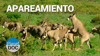 Apareamiento. Animales de Shaba | Naturaleza - Planet Doc