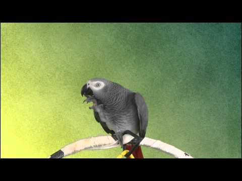 African Grey Parrot Bibi Talking about Nutri-Berries