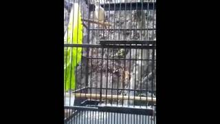Suara Burung Sanger isian Blackthroat