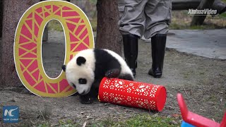 Cutest ever! Baby pandas pay a happy New Year call