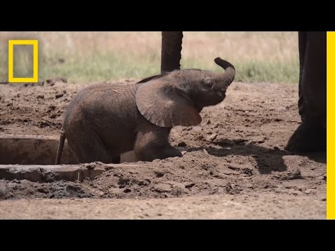 Baby Elephant Stuck in a Watering Hole? Send in the Chopper! | National Geographic