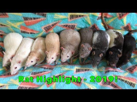 Rat Highlight - 2019 Rats!