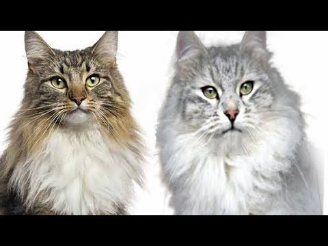 Maine Coon Vs Siberian Cat Difference Explained Youtube