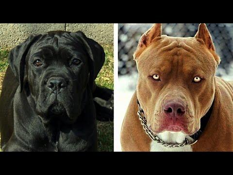 Cane Corso vs Pitbull Dog - Facts and Comparison