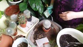 #266.пересадка кактусов