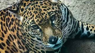 Sao Paulo Zoo - Come See A Jaguar In Love | Brazil