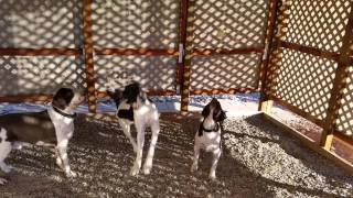 3 Springer Spaniels PlayingTether Ball in Carport