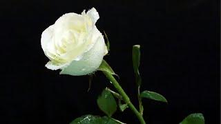Mawar Putih Cover by Arif Elmaula Karaoke