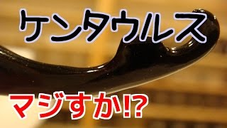 【クワガタ カブトムシ生活】 奇跡のケンタウルス