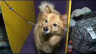 'Tinder' a Finnish Spitz at Westminster Kennel Club Dog Show 2020