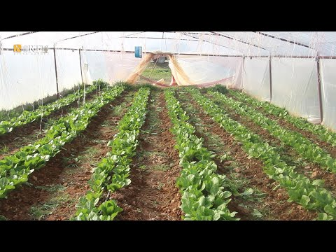 Farmers turn to greenhouses in Syria's Manbij