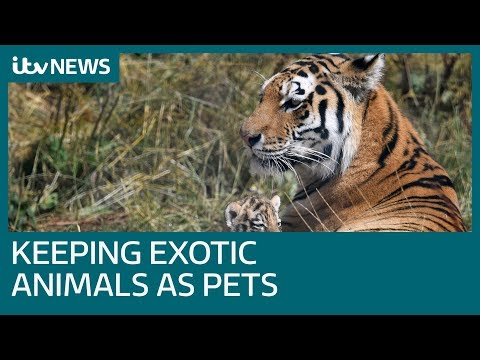 How Do You Get A Licence To Keep Exotic Pets? | ITV News