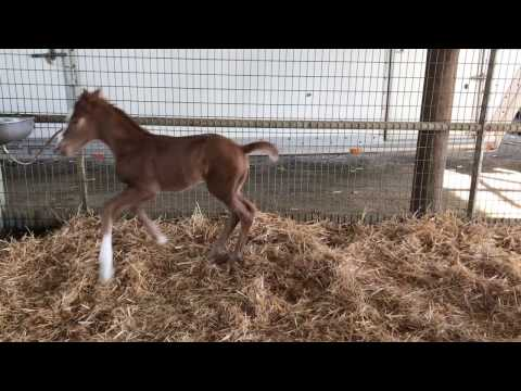 2017 Lucky Pulpit Filly out of Unbridled Joule (Martin Racing)