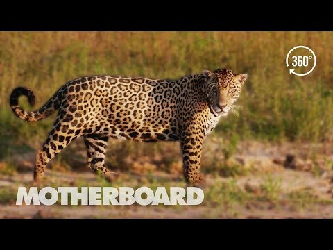 Brazil's Disappearing Wild Jaguars (360°)