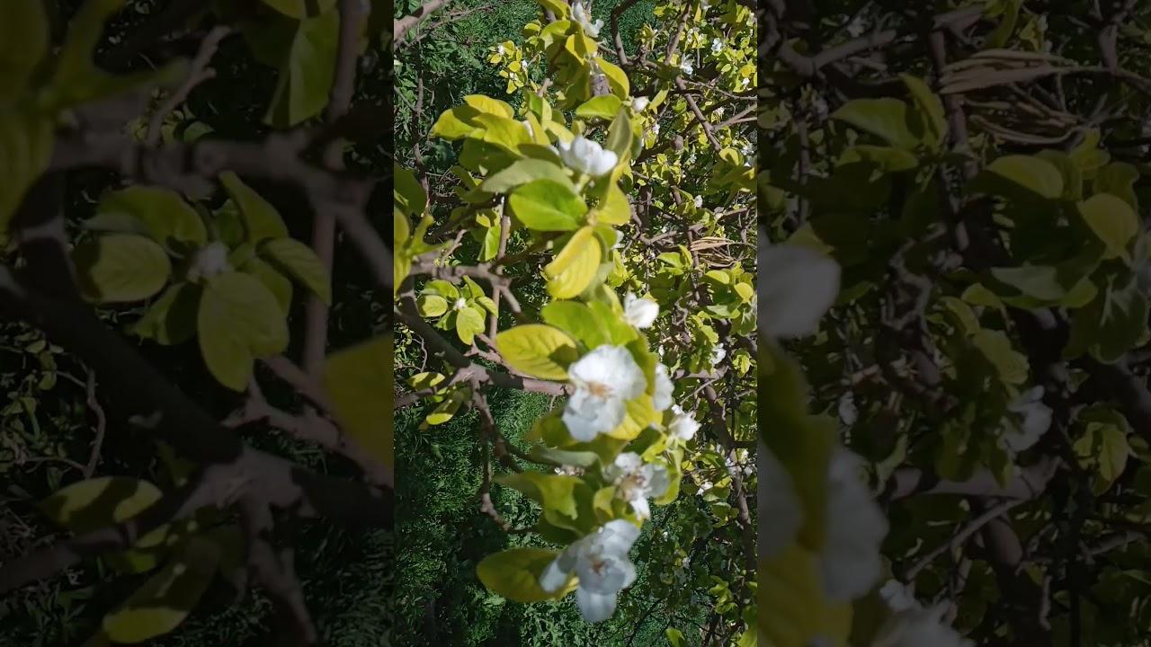 آيات بينات من تلاوة القارئ  خالد الجليل. مع صورة لشجرة السفرجل