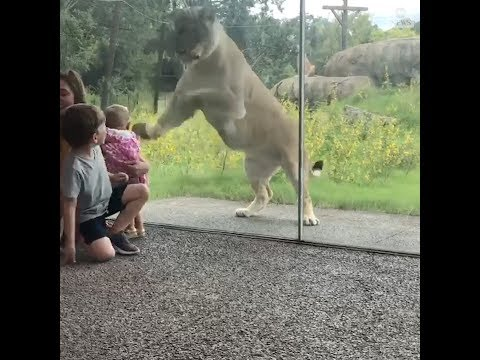 None - Kids Look Like Snacks To Lions..... Yes, They'll Try To Eat Them