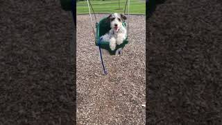 odie the wire fox terrier(funny dog video )