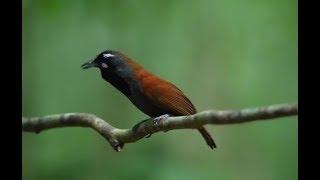 Gambar cover Kicau Burung Blacktroated Babbler Di Hutan