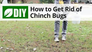 How to Get Rid of Chinch Bugs
