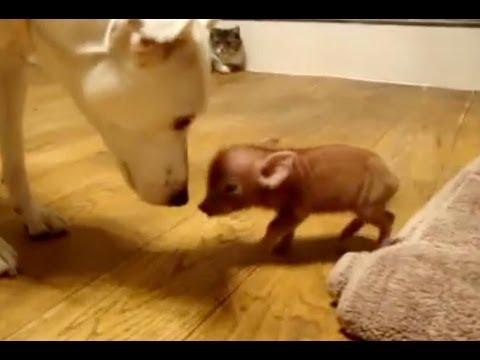 Самый большой мини-пиг – Рамблер/видео