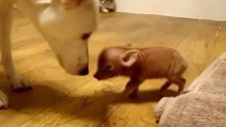 Милые домашние свинки. (Mini Pig)