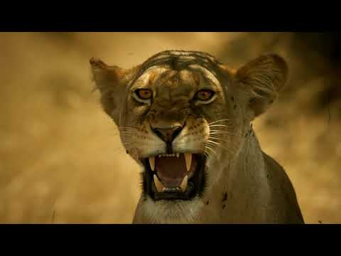Kali's Lion Cubs Are Put in Danger | Serengeti - Narrated by John Boyega