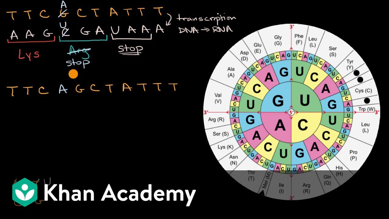 Impact of mutations on translation into amino acids