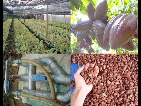 Techniques of cocoa cultivation (New plant, Water management