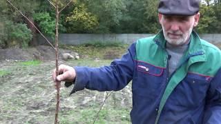 Sadzenie drzewek owocowych