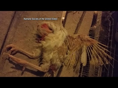 Investigation into Hillandale Farms, One of US's Largest Egg Producers
