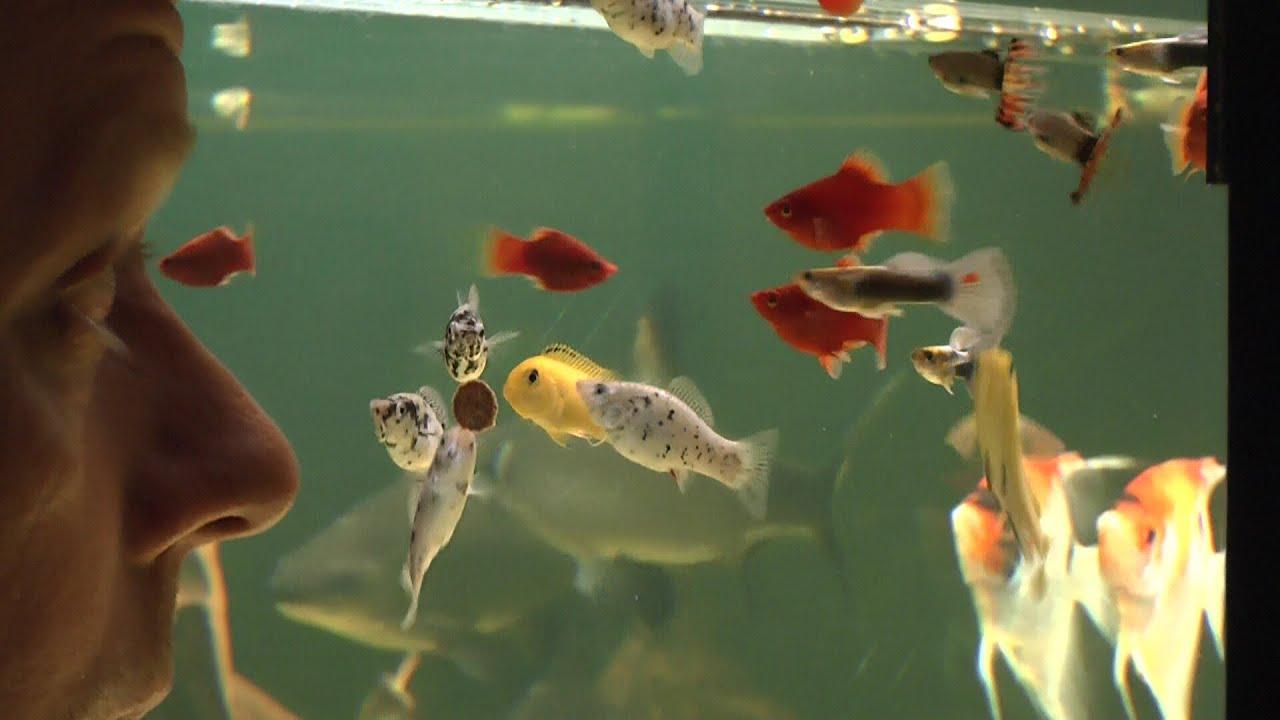 Zierfische im aquarium pflegen die f tterung teil 1 youtube for Zierfische aquarium