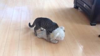 котёнок нападает на барашка