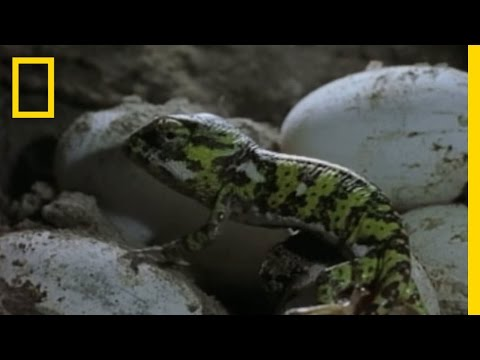 Chameleon Babies: Home Alone | National Geographic
