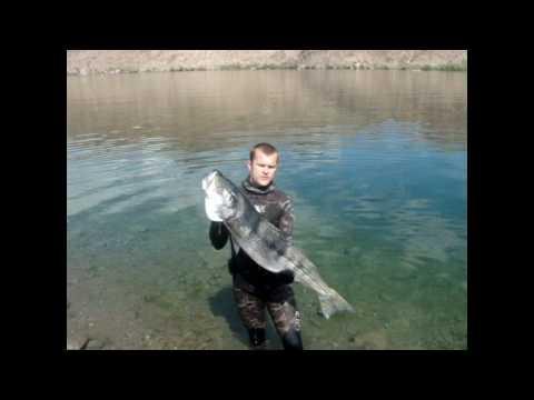 Spearfishing Colorado River 090710 Striper 33lbs 15kg
