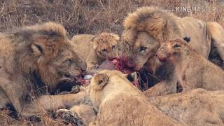 the Othawa lion pride take down a warthog for breakfast.
