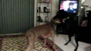 Weimaraner Versus Labrador - Round One