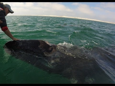 Playing with whales in Guerrero Negro, Baja, Mexico | Baja Whale Watching