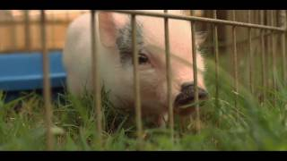 How to Litter Train a Teacup Pig | Small Pets
