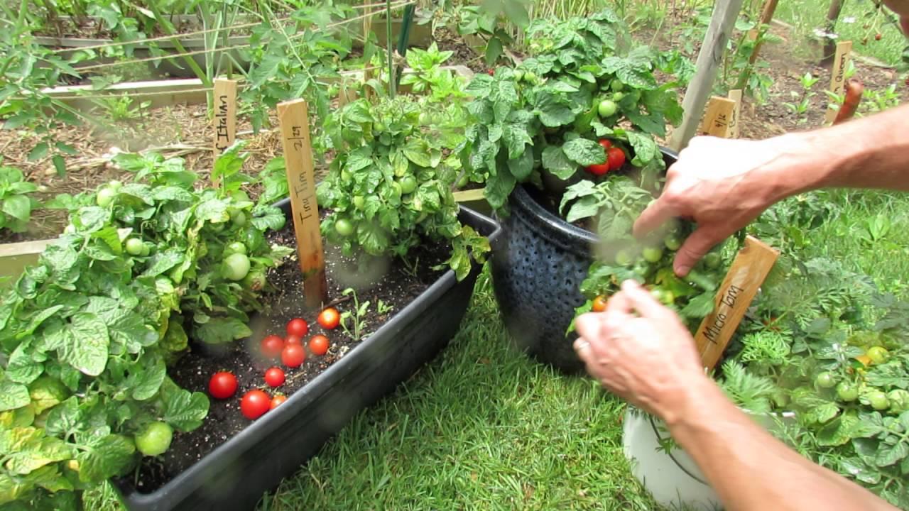 Tomato Variety Profiles Three Dwarf