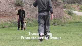 Lara (labrador Retriever) Basic Obedience Training In Rhodes