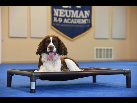 Cooper (Springer Spaniel) Boot Camp Dog Training Demonstration