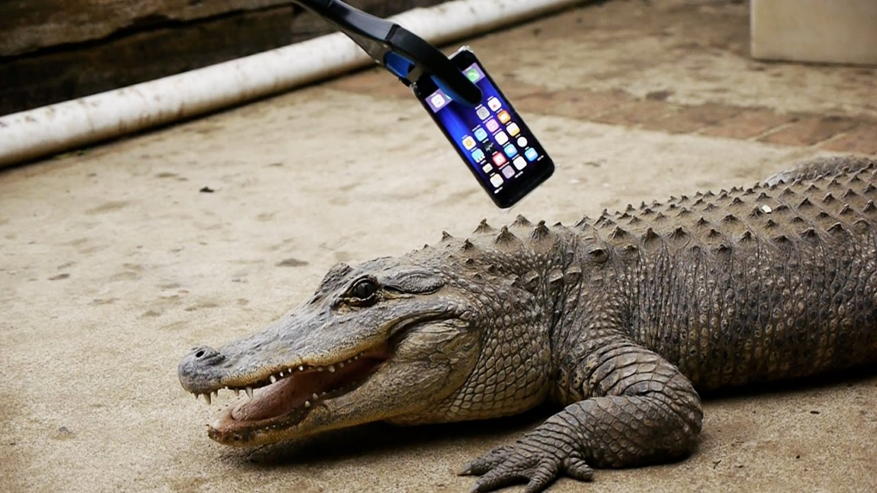 what happens if an alligator bites an iphone 7 youtube