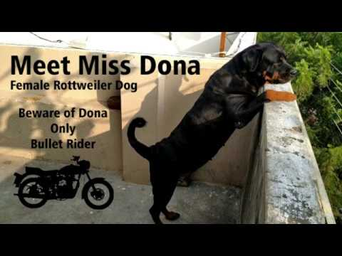 meet-miss-dona-female-rottweiler-dog-|-beware-of-dona-only-bullet-bike-rider