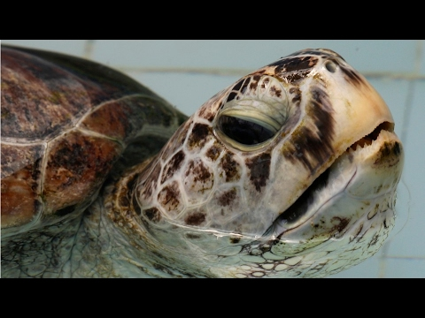 Doctors Save Turtle That Swallowed Over 900 Coins