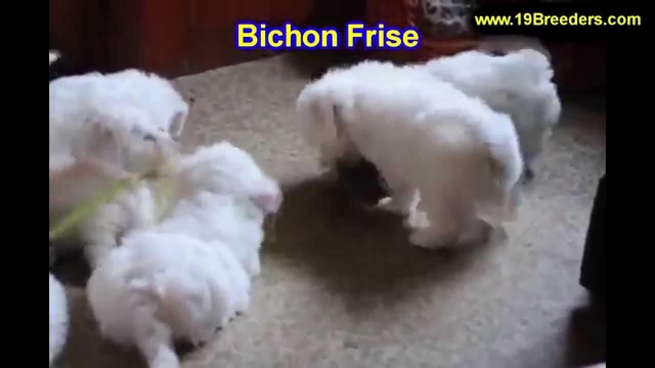 Bichon Fise, Puppies,For,Sale, In,Orlando Florida, FL,  Deltona,Melbourne,Palm Coast,