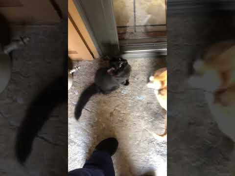 Cute baby kittens meowing and loving on me