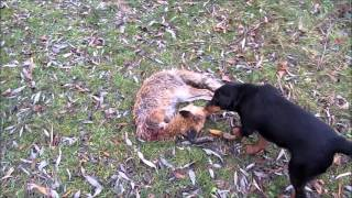 Охота на лису норная !C Ягдтерьером! Hunting foxes, with Jagdterrier