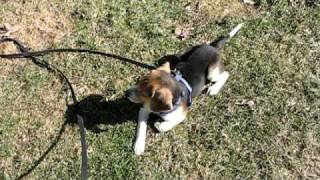 Herbie: Beagle Puppy From Safe Hounds Beagle Rescue