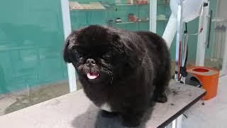 After grooming.Moo,Black Pekingese,boy.Owner's Instagram : riesizu ...